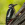 aves de Galdames, Pico carpintero, Dendrocopos major,  birding, birdwatching