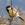 aves de Galdames, Carbonero común, Parus major,  birding, birdwatching