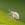 Pshychoda grisescens, insecting, areitz soroa