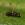 Sepsis fulgens, insecting, areitz soroa