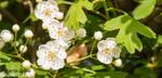 Espino blanco (Crataegus monogyna)