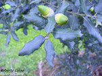 Encina (Quercus ilex)