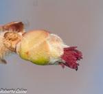 Avellano (Coryllus avellana)